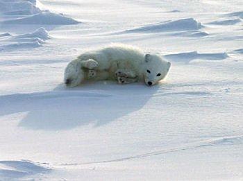 renard-polaire
