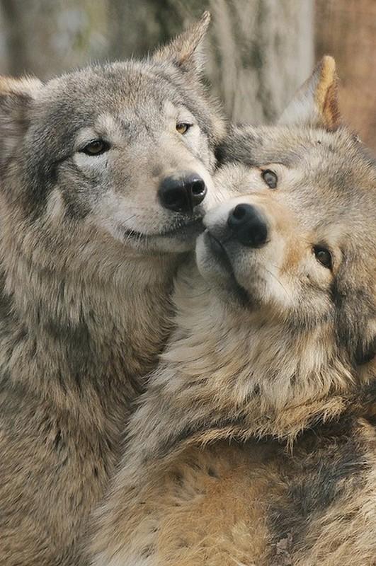 LES LOUPS dans CITATIONS loups
