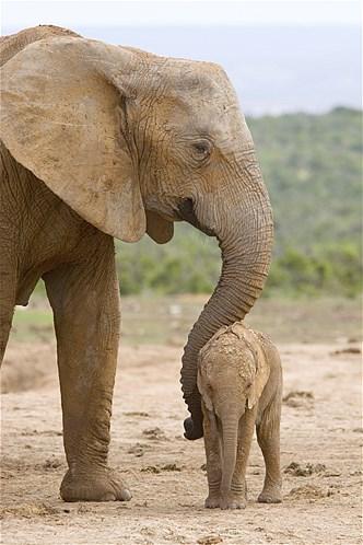 maman éléphante