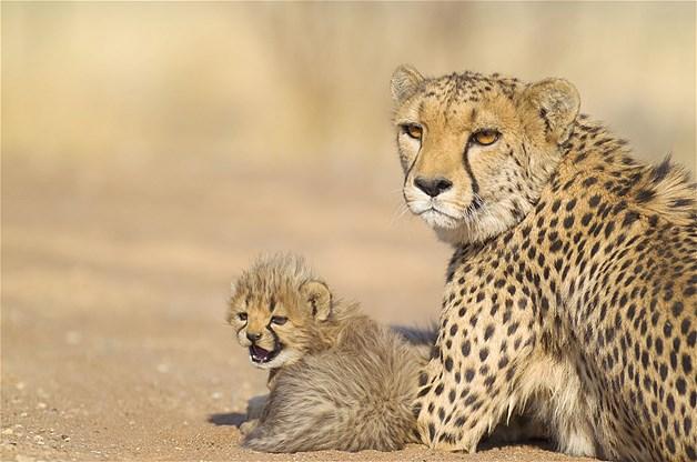 maman guepard