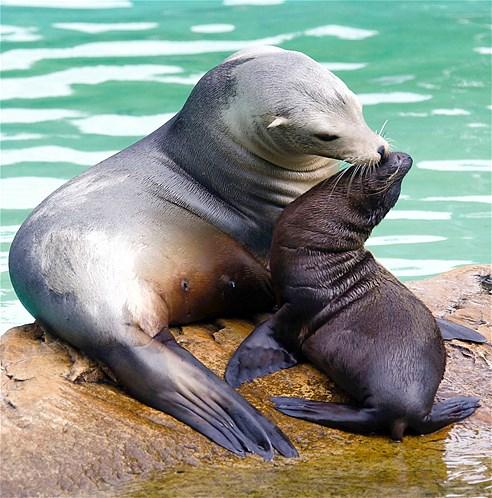 maman lion  de mer caressant son petit